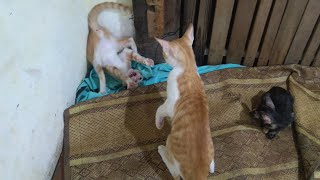 Screaming Cat Fighting   Very Loud Cat Fight Meowing Sounds