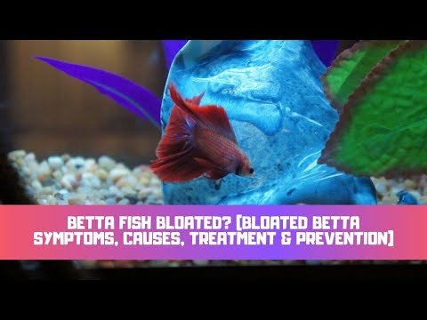 Betta Fish Bloated? (Bloated Betta Symptoms, Causes, Treatment & Prevention)