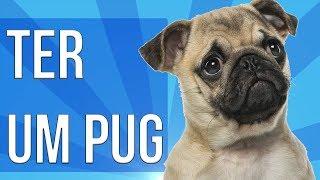 Como é ter um Pug  Será que pug é uma boa raça? Tudo sobre Pug