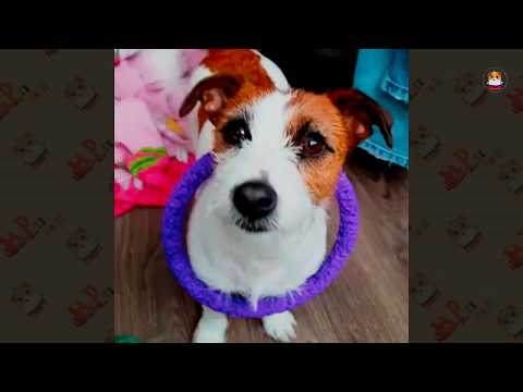 Funny & Adorable Jack Russell Terrier 2018 # 2