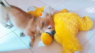 Tibetan Spaniel  Toy Breed