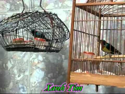 chim xanh tim video vietgiaitri com
