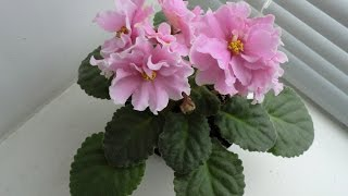 Фиалка. РМ-Хороша невеста. Пошаговое цветение.