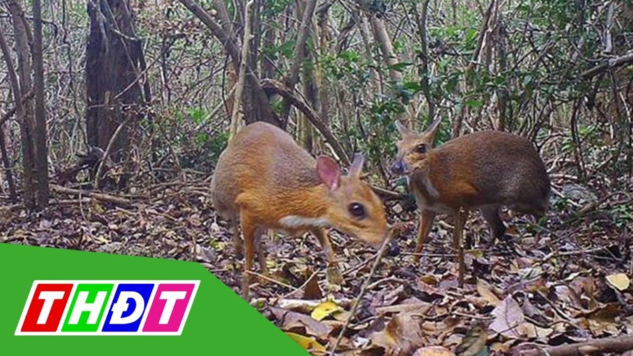 Phát hiện hươu chuột lưng bạc tại Nha Trang sau 25 năm | THDT