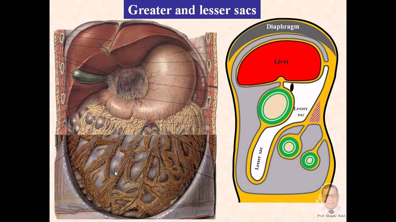 Magdy Said,Anatomy Series,Abdomen,11-greater &lesser sacs and ...