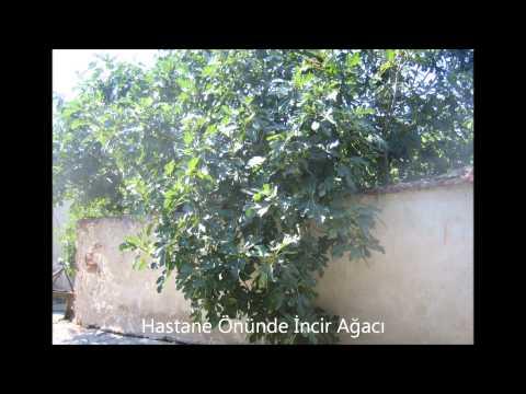 Hastane Önünde İncir Ağacı - Osman Azizov
