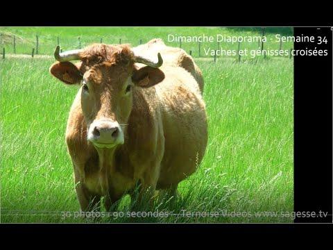 vaches-et-génisses-croisées-:-holstein-salers-blondes-d'aquitaine-limousine-diaporama-21-juin-2020