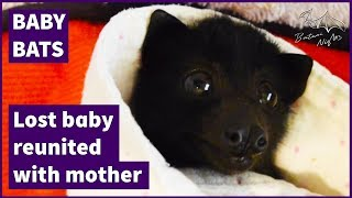 Reuniting a lost baby bat with her mother