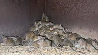 Mouse plague in Trangie farm
