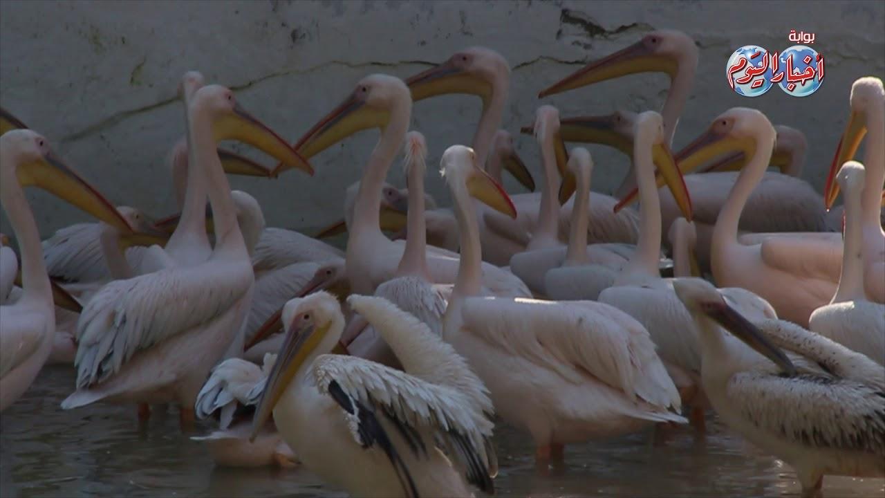 أخبار اليوم | مدير حديقة الحيوان: وفرنا مناخ مناسب لكل حيوان للحفاظ على السلالات