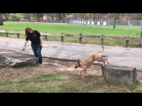 Manchester NH Dog Trainers/ Nashua NH Dog Trainers- 1 5 year old Pit bull-  Xander