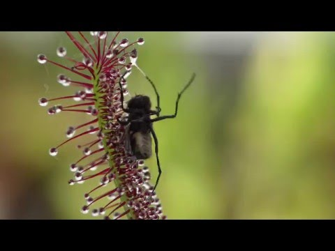Carnivorous plant wraps itself around prey (5)