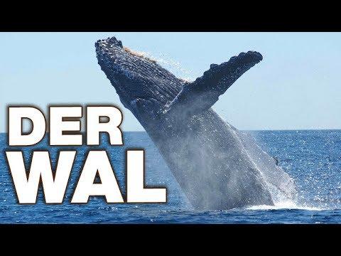 Der Wal - Anatomie und Biologie   Alternative Fakten fürs Referat ...