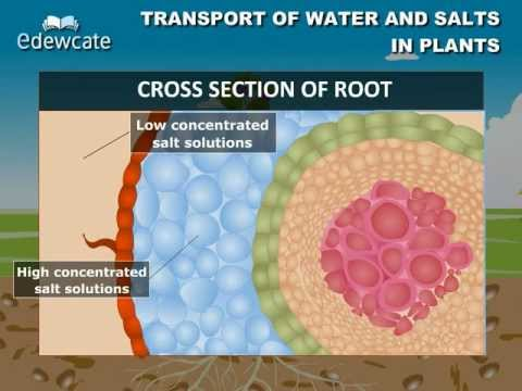 Transport of water and salt in plants
