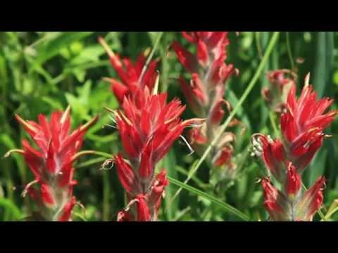 Food Life Hack-Edible Flowers- Indian Paintbrush With God's Woodsman