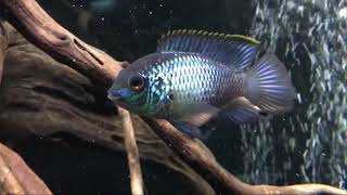 Blue Acara - electric fish breed