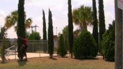 *Plant Italian Cypress Trees* +Cupressus sempervirens+Evergreen+