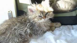 Fair and Square   Selkirk Rex kittens 10 11 2013