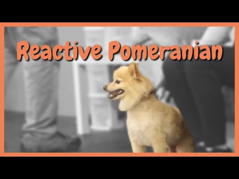 reactive-pomeranian-stopped-in-seconds