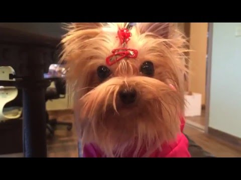 Spoiled and Whining Teacup Yorkshire Terrier