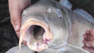 САЗАНЫ НА БОКОВОЙ КИВОК ЛОВЛЯ САЗАНОВ НА УДОЧКУ С БОКОВЫМ КИВКОМ рыбалка на карпа