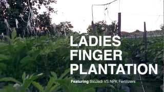 Ladies Finger (okra) Plantation - Biojadi Vs Npk