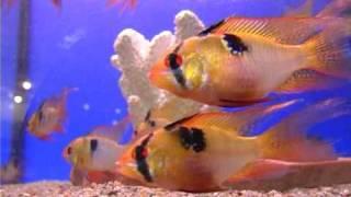 видео Рыба-бабочка
