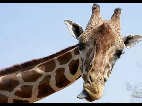 Thumbnail: Giraffes at the San Diego Zoo (in HD)