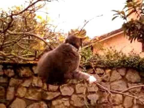 BLOOPER Cat free climbing on a thin branch :-)