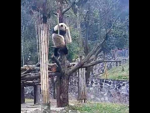 Bao Bao A Surprise