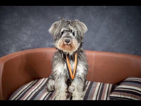 Winston - Miniature Schnauzer - 3 Weeks Residential Dog Training