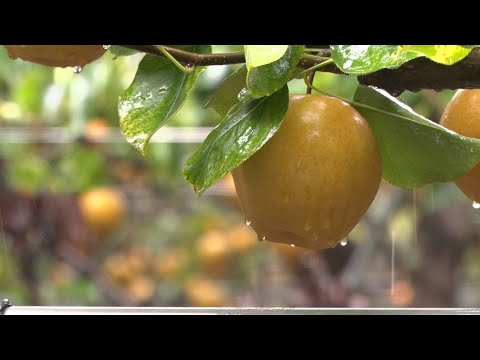 Korean pear season in full swing at Hamilton Township farm