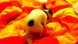 Собака трахает одеяло!!!