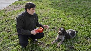 Некоторые полезные советы любителям собак породы дратхаар. Охотничья собака. Чем кормить дратхаара.