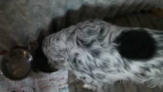 我が家の愛犬、イングリッシュ・セッターのローリー(最近8歳になりま...