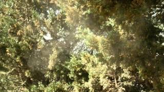 Пыльца кипариса