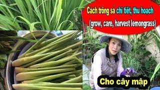 Cách trồng sả, săn sóc, thu hoạch, harvest, care, grow lemongrass