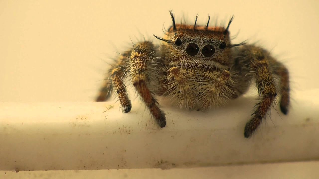 Phidippus Carolinensis Jumping Spider Being Cute Youtube