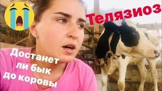 Ослепла беременная телка 😭 корова гуляет ПО ТИПОХОМУ