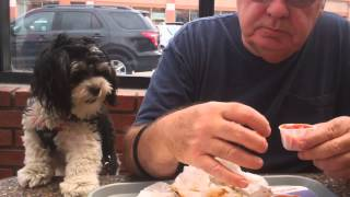Havanese Dog Loves Double Chili Cheese Burgers With Fries!