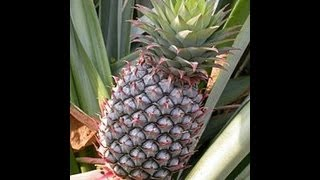 how to successfully grow pineapple plants