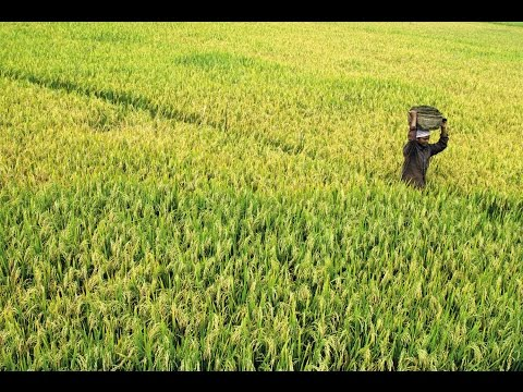 Nostalgic scenes: Paddy fields in Kerala