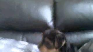 Yorkshire Terrier Puppy Attack!