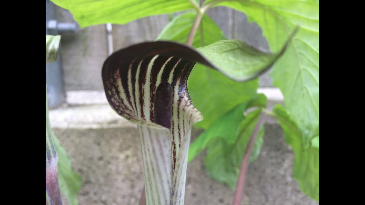 Strange Woodland Garden Plants Jack In The Pulpit Care Tips Youtube