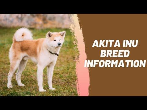 Akita Inu Breed Information