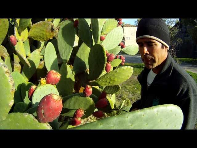 How To Eat A Prickly Cactus Pear