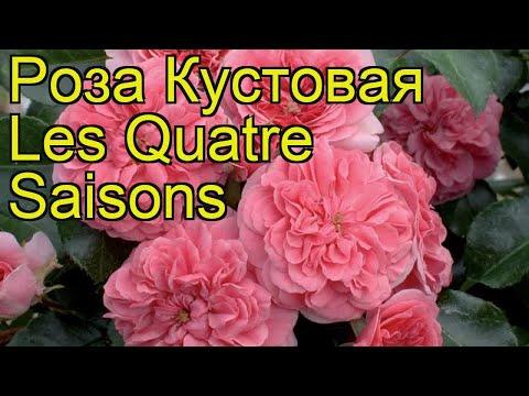 Роза кустовая Les Quatre Saisons. Краткий обзор, описание характеристик, где купить саженцы