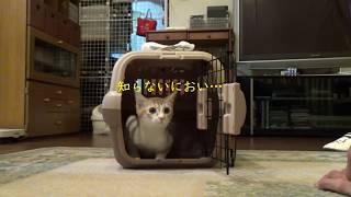 生後4か月の子猫 初めてのお家にドキドキの巻 「茶白猫みや」