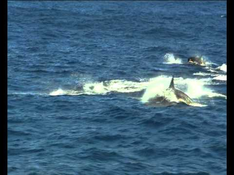 Animal Communication: Whales and Dolphins