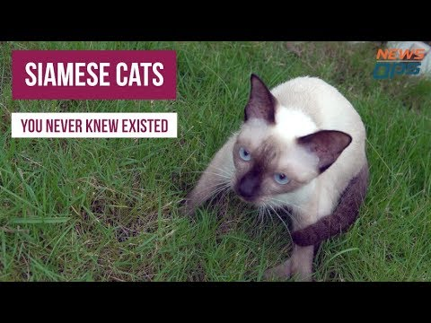 5 Breeds of Siamese Cats You Never Knew Existed   By NewsOps